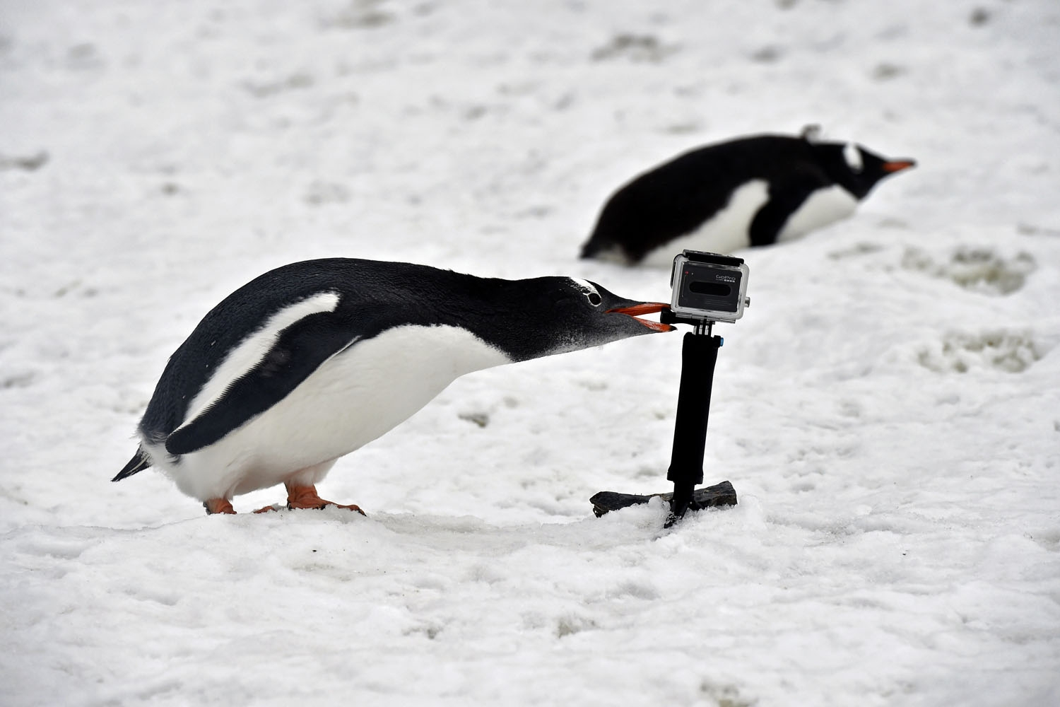 A Gentoo pinguin bites a gopro camera in Orne Harbour, Antarctic,  on March 05, 2016
