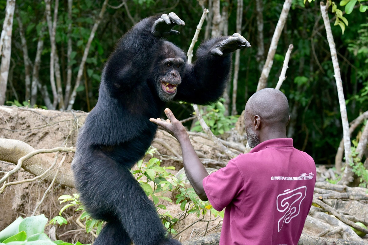 Germain Djenemaya Koidja, a carer paid for by the association Les Amis de Ponso (Friends of Ponso), interacts with Ponso, the only surviving chimpanzee of a colony of 20 apes, on Chimpanzee Island near the town of Grand Lahou, Ivory Coast, on August 18, 2