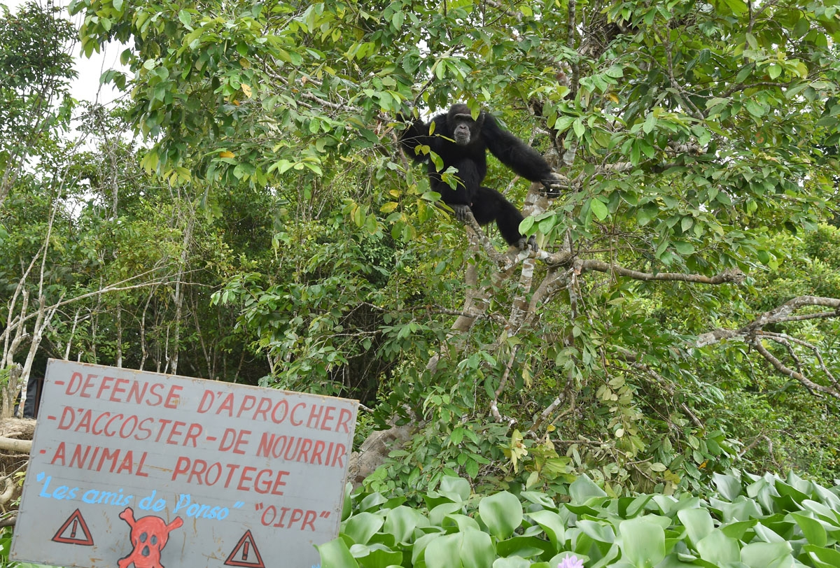 Ponso, the only surviving chimpanzee of a colony of 20 apes, sits in a tree on Chimpanzee Island near the town of Grand Lahou, Ivory Coast, on August 18, 2017.