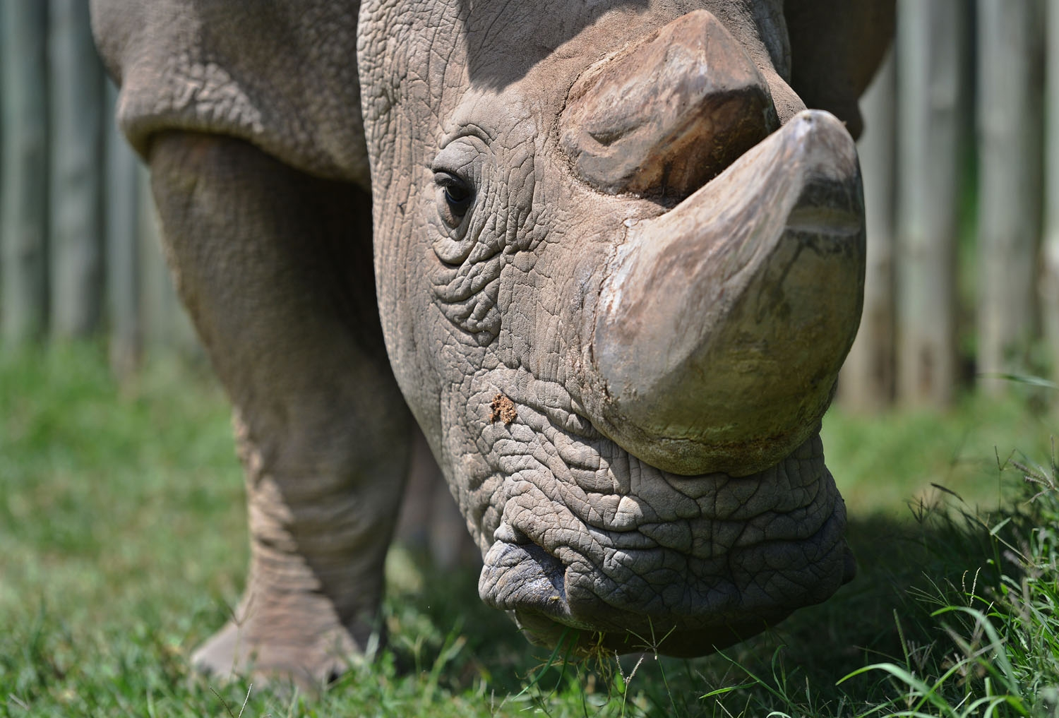 (FILES) In this file photo taken on December 05, 2016, Sudan, the last known male of the northern white rhinoceros subspecies, grazes in his paddock, at the Ol Pejeta conservancy in Laikipia County -- at the foot of Mount Kenya -- that is home to the plan