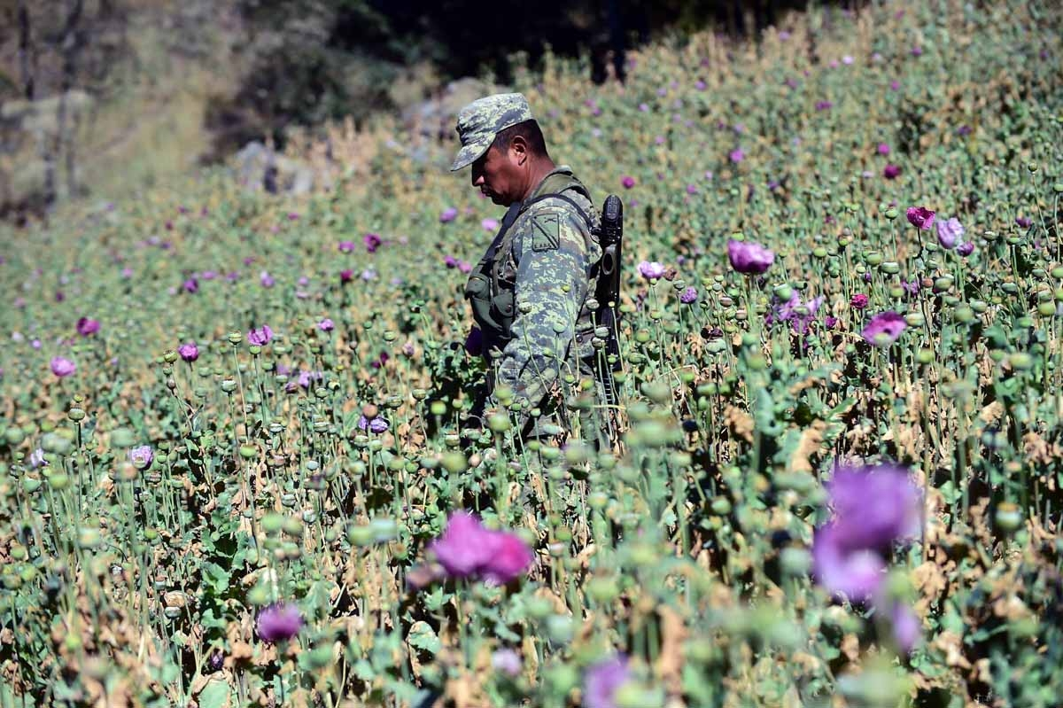 A Mexican soldier pulls up poppy flowers as part of the army's struggle to eradicate growing opium production, in the community of Surutato in Sinaloa state in northwest Mexico, on December 8, 2016. / AFP PHOTO / ALFREDO ESTRELLA