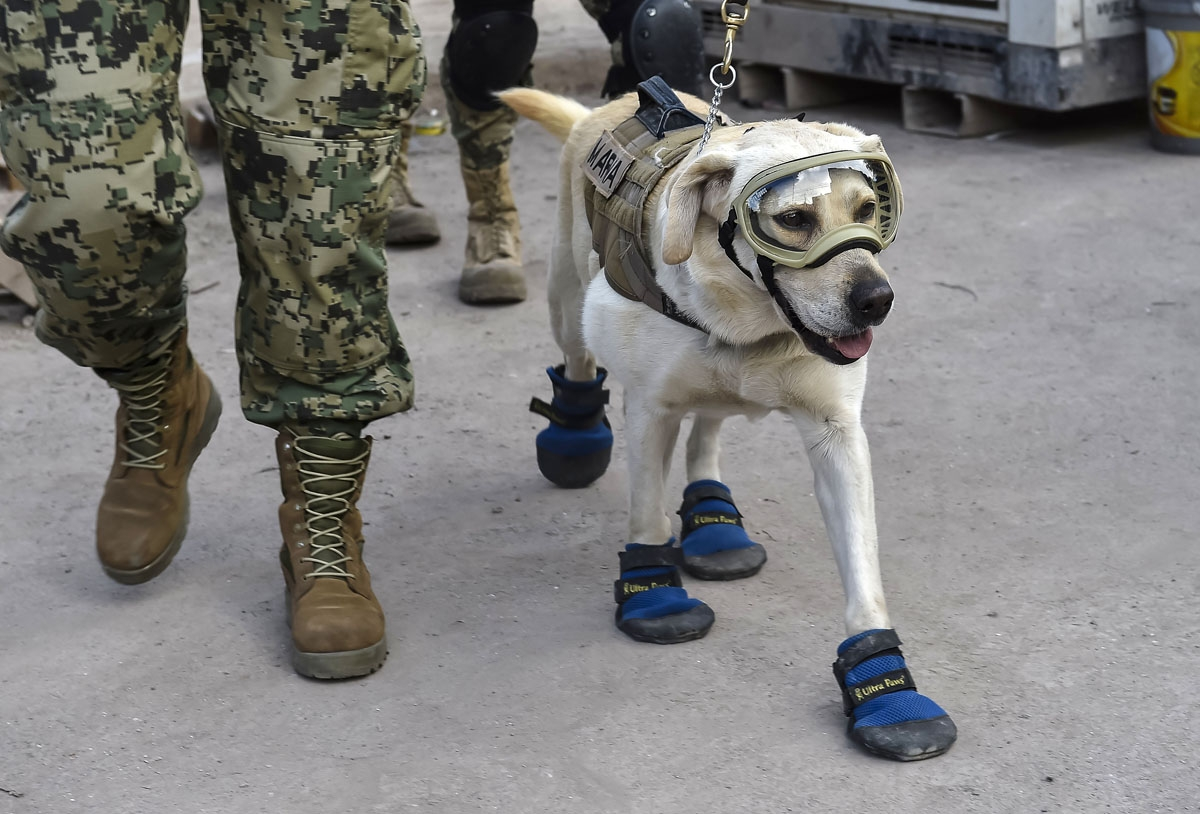 Frida, a rescue dog belonging to the Mexican Navy, with her handler Israel Arauz Salinas, takes part in the effort to look for people trapped at the Rebsamen school in Mexico City, on September 22, 2017, three days after the devastating earthquake that hi