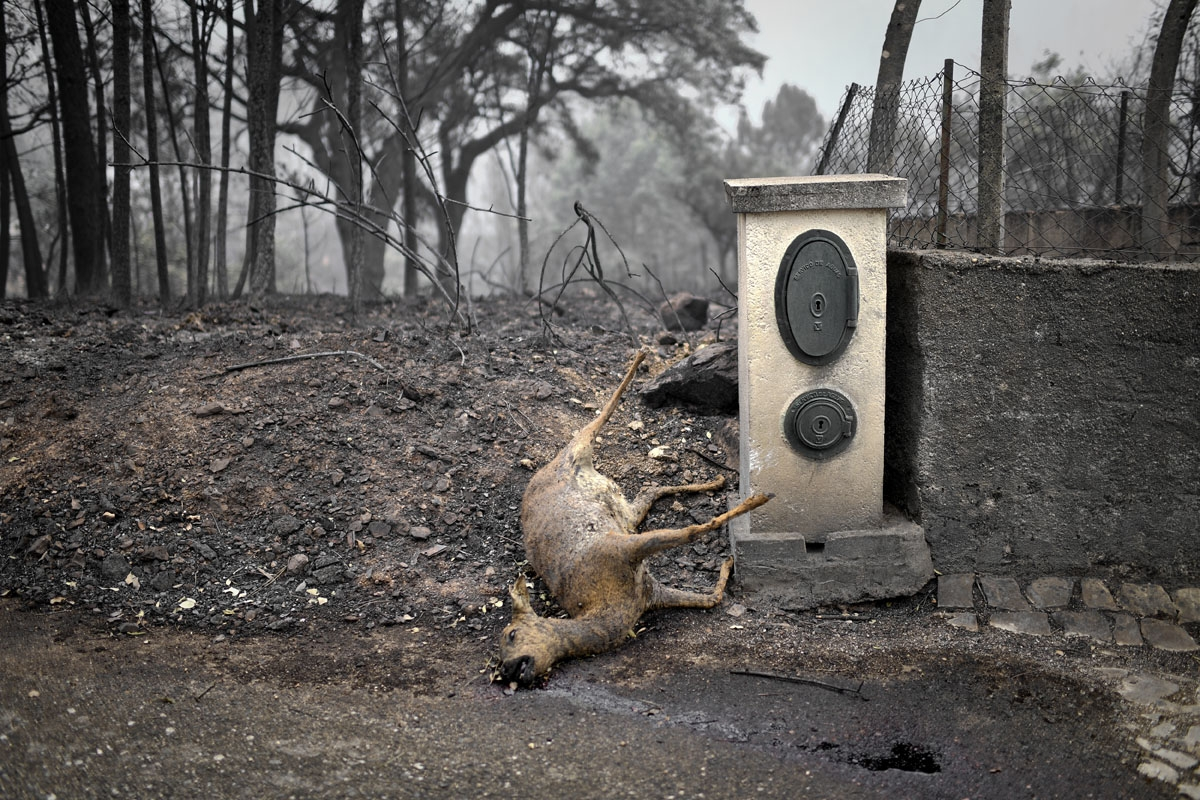 A dead deer lays on the roadside in an area affected by a wildfire at Vila Pedro, Figueiro dos Vinhos on June 19, 2017.