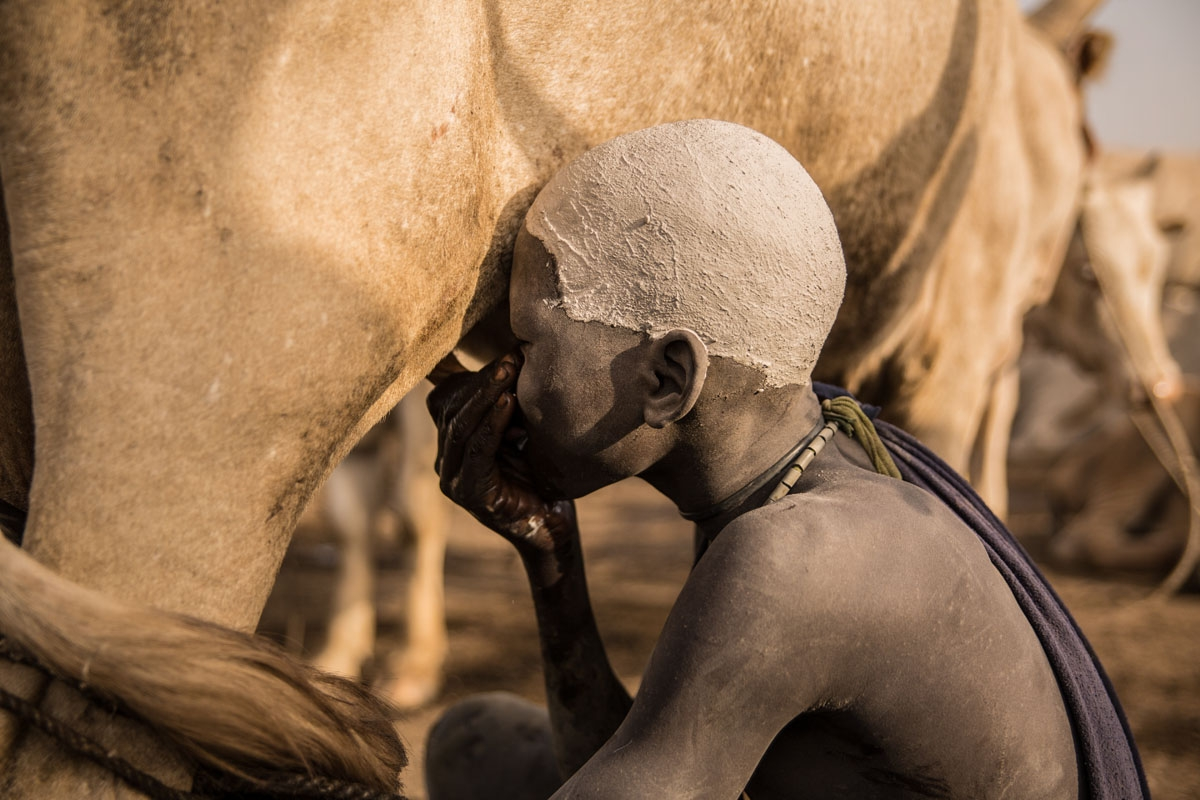A Sudanese boy from Dinka tribe drinks milk from a cow udder at their cattle camp in Mingkaman, Lakes State, South Sudan on March 3, 2018.