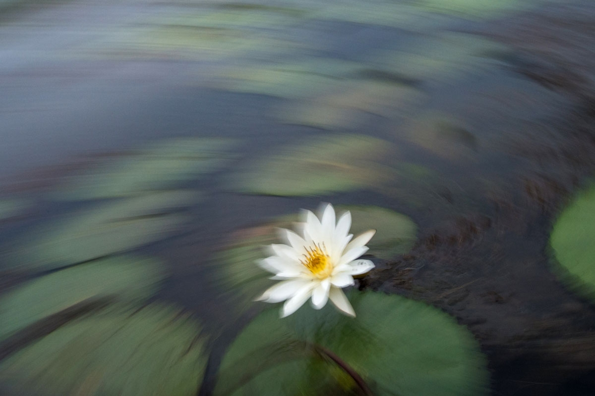 The sacred lotus correspondent in this photograph taken on may 5 2017 a lotus flower blossoms in the izmirmasajfo Images